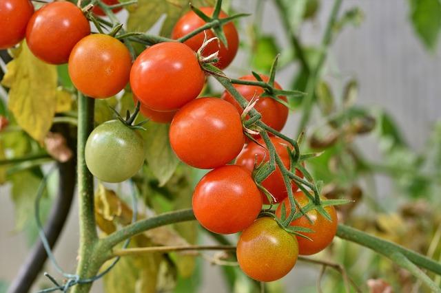 Czym nawozić pomidory?